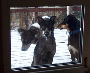 Buddy, Kiva and Koidern at the door