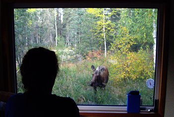 Cow moose out west window