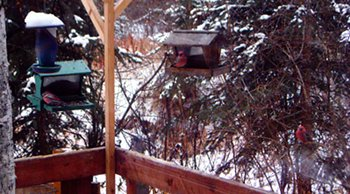 Three grosbeaks