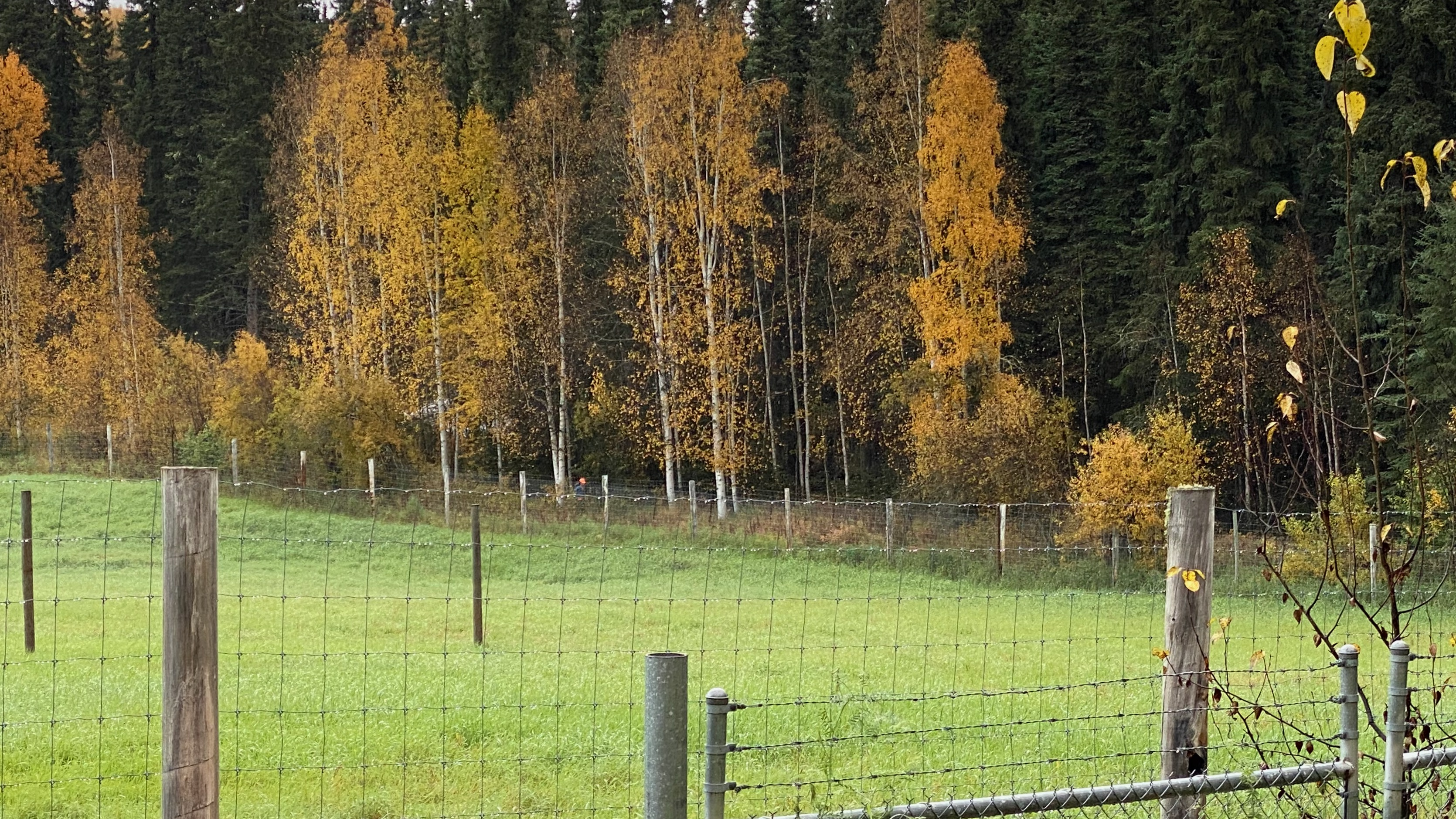 Along the fence at the muskox farm